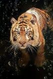 Baño del tigre imagenes de archivo