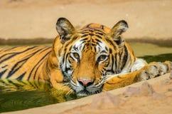 Baño del tigre de Bengala Imagen de archivo libre de regalías