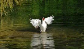 Baño mudo del pato foto de archivo