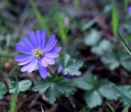 Bałkański anemon, Grecian windflower lub zimy windflower, uroczy błękitny kwiat kwitnie wczesną wiosnę zdjęcia stock