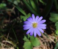 Bałkański anemon, Grecian windflower lub zimy windflower, uroczy błękitny kwiat kwitnie wczesną wiosnę Anemonowy Blanda obraz stock