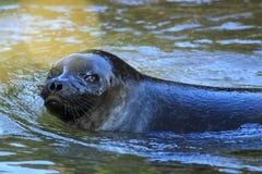 Bałtycka upierścieniona foka Fotografia Royalty Free