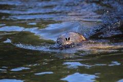 Bałtycka upierścieniona foka Zdjęcie Stock