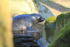 Bałtycka upierścieniona foka Fotografia Stock