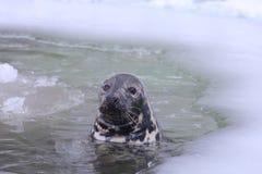 Bałtycki siwieje fokę fotografia stock