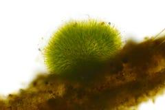 Bańczasta kolonia cyanobacteria Gleotrichia, niebieskozielone algi obraz stock