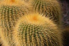 Bańczasty Echinocactus z złotymi żółtymi prickles fotografia stock