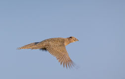 Bażant karmazynki latanie fotografia royalty free