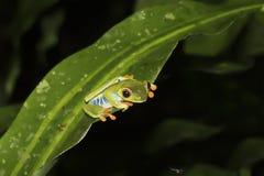 在叶子注视的蚊子边缘的红眼睛的雨蛙与黑Ba的 库存照片