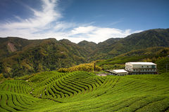 Ba Gua Tea garden in Taiwan Royalty Free Stock Images