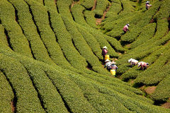 Ba Gua Tea garden in Taiwan Stock Image