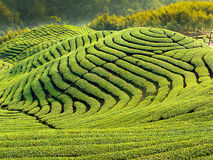 Ba Gua Tea garden in Taiwan Royalty Free Stock Photo