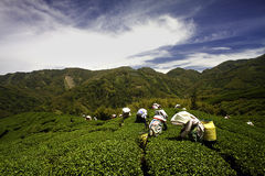 Ba Gua Tea garden in Taiwan Stock Photos