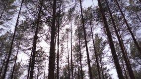 Ba?tycki wschodni Europe sosnowy las z wysokimi starymi wiecznozielonymi drzewami wskazuje w g?r? nieba w podczas jaskrawego s?on zbiory