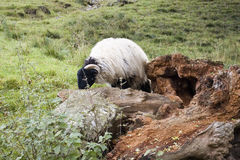 Baa. Sheep in North Yorkshire behind a treestump Royalty Free Stock Photos