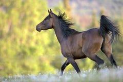 Baai Arabisch Paard Royalty-vrije Stock Fotografie
