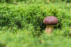 Baai Bolete & x28; Imleria badia& x29; paddestoel in groen mos Stock Foto