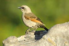 Baai-gevleugelde Cowbird (Agelaiodes-badius) Stock Foto's