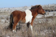 Baai Pinto Filly op Assateague-Eiland royalty-vrije stock foto
