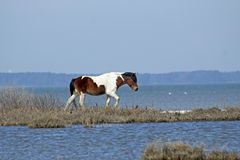 Baai Pinto Horse dichtbij de Baai op Assateague-Eiland royalty-vrije stock foto's