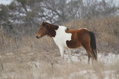 Baai Pinto Horse op de Duinen op Assateague-Eiland royalty-vrije stock fotografie