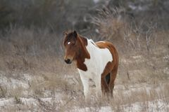 Baai Pinto Horse op de Duinen op Assateague-Eiland royalty-vrije stock foto's