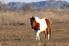Baai Pinto Horse op het Moeras op Assateague-Eiland stock fotografie