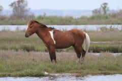 Baai Pinto Stallion op Assateague-Eiland stock foto