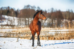 Baaipaard in de winter Stock Foto