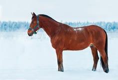 Baaipaard die zich in de sneeuw bevinden Royalty-vrije Stock Afbeeldingen