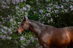Baaipaard het stellen dichtbij de lilac bloemen stock afbeeldingen