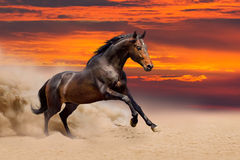 Baaipaard in woestijn in werking die wordt gesteld die Stock Fotografie