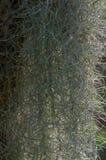 Baardkorstmos, Alectoria-sarmentosa royalty-vrije stock afbeeldingen