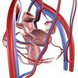 Baarmoeder vector illustratie