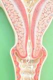 Baarmoeder van mens Stock Afbeeldingen