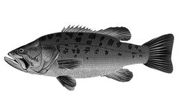 Baarzen - Micropterus salmoides stock illustratie