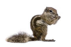 Babary Ground Squirrel, Atlantoxerus Getulus, stan royalty free stock images
