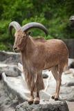 Babary sheep Royalty Free Stock Image