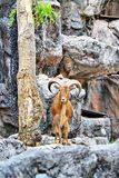 Babary Sheep on the cliffs. In Thailand Royalty Free Stock Photos