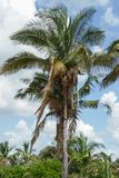 Babassu棕榈在Piaui,巴西 免版税库存照片