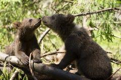 Babay niedźwiedzia bracia dotyka nosy Zdjęcie Royalty Free