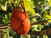 Babay stålarfrukt i lantgården, Cochinchin kalebass, taggig bitter kalebass, Royaltyfri Bild