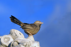 Babbler Royalty Free Stock Images