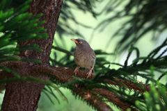 Babbler Stock Images