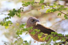 Babbler, Black-faced - African Bounty Stock Image