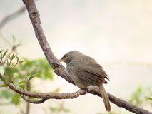 Babbler perched on twig Royalty Free Stock Photos