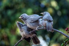 Babblers. The jungle babbler & x28;Turdoides striata& x29; is a member of the family Leiothrichidae found in the Indian subcontinent. They are gregarious birds stock photography