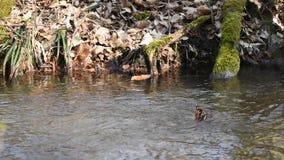 Babbling beek in het de lentebos stock footage