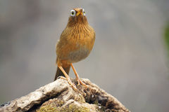 Babbling thrush. A throstle stands on tree stool. Scientific name:Garrulax canorus Royalty Free Stock Photography