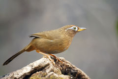 Babbling thrush. A throstle stands on tree stool. Scientific name:Garrulax canorus Royalty Free Stock Images